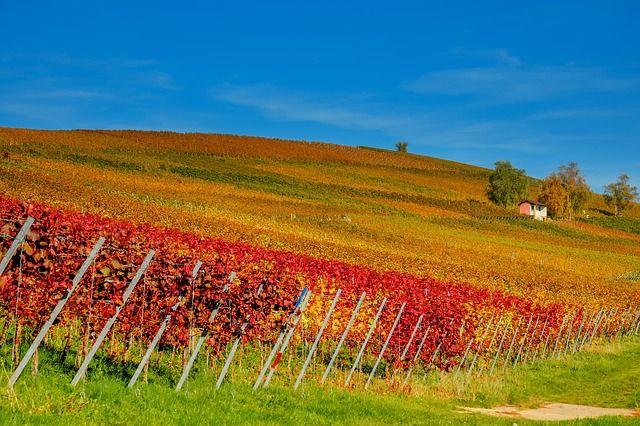 Ein Weinhang in der Blütezeit